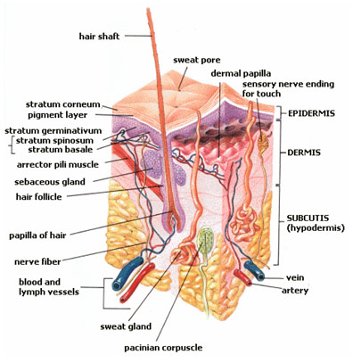 Picture of a hair follicle with a sebaceous gland attached to it to illustrate the correct use of the no shampoo method.